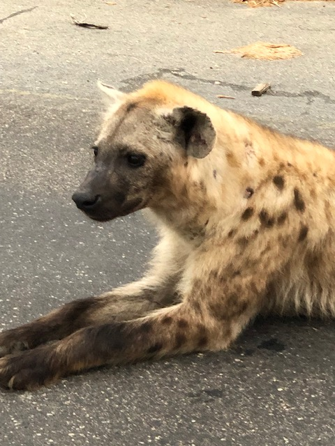 Hyena KNP 1