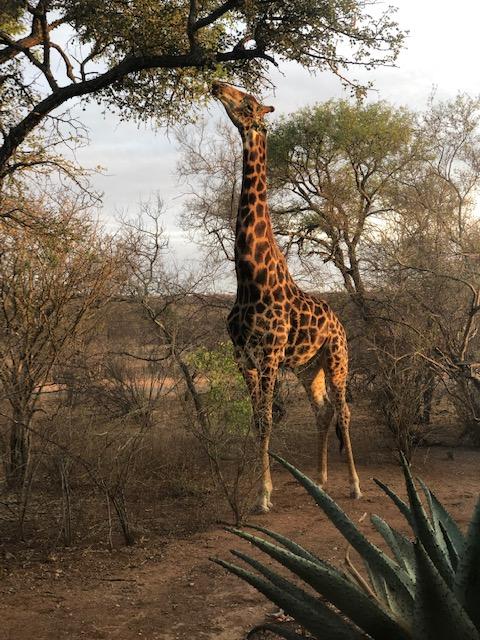 Giraffe at HWE
